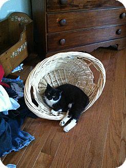 Domestic Shorthair Cat for adoption in Ladysmith, Virginia - Winnie