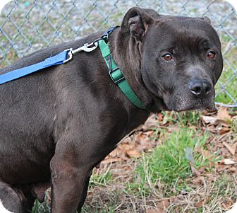 Labrador Retriever/Boxer Mix Dog for adoption in Taylorsville, North Carolina - Weezie