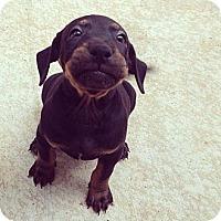 Adopt A Pet :: Hound / Labrador Puppies - Honolulu, HI