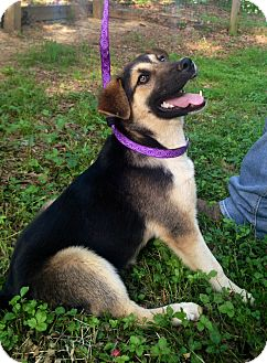 German Shepherd Dog/Labrador Retriever Mix Dog for adoption in Harmony, Glocester, Rhode Island - Marsha at always adopt6/1