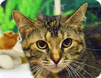 Domestic Shorthair Cat for adoption in Searcy, Arkansas - Tori