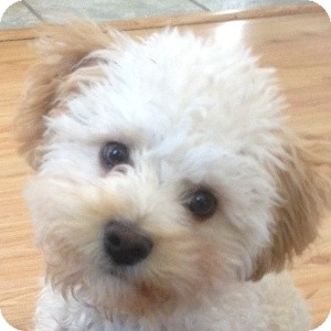 Bichon Frise Mix Puppy for adoption in La Costa, California - Kiki