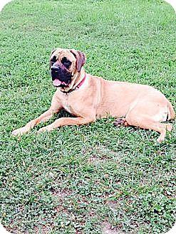 Mastiff Mix Dog for adoption in Virginia Beach, Virginia - Hannah