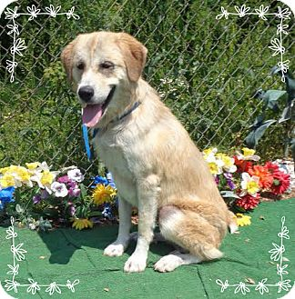 Golden Retriever/Great Pyrenees Mix Dog for adoption in Marietta, Georgia - BLOSSOM (R)