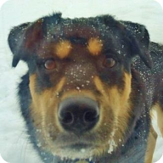 Tibetan Mastiff Mix Dog for adoption in Medford, Massachusetts - Chang Lou