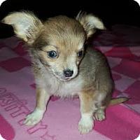 Adopt A Pet :: Louie - Algonquin, IL