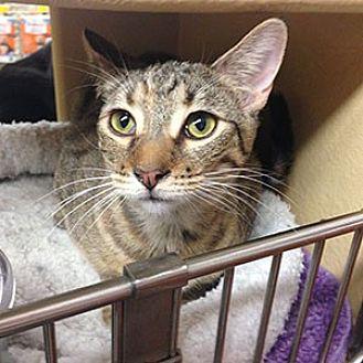 Domestic Mediumhair Cat for adoption in Garner, North Carolina - Marnie