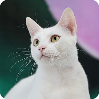Domestic Shorthair Cat for adoption in Houston, Texas - Kermit