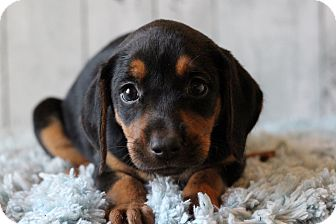 Labrador Retriever Mix Puppy for adoption in Waldorf, Maryland - Letty