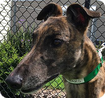 Greyhound Dog for adoption in Longwood, Florida - NB's Star War