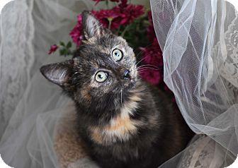 Domestic Shorthair Kitten for adoption in Bristol, Connecticut - Harvest-PENDING