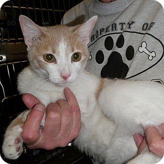 Domestic Shorthair Cat for adoption in North Wilkesboro, North Carolina - Kevin