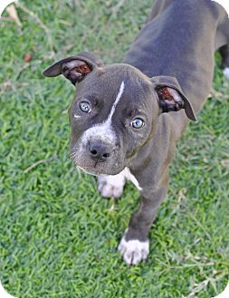Pit Bull Terrier/American Staffordshire Terrier Mix Puppy for adoption in College Station, Texas - Kingston