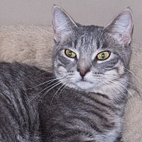 Domestic Shorthair Kitten for adoption in Elmwood Park, New Jersey - Lonnie