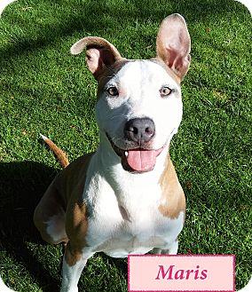 Pit Bull Terrier Mix Dog for adoption in El Cajon, California - Maris