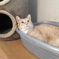 Adopt A Pet :: Simon the Second - Glendale, AZ