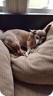 Chihuahua Dog for adoption in Franklin, Virginia - Gypsy