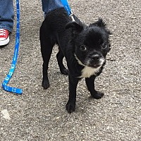 Adopt A Pet :: Kali - RBF - Spring Valley, NY