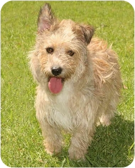 Cairn Terrier/Border Terrier Mix Dog for adoption in Marina del Rey, California - Mina