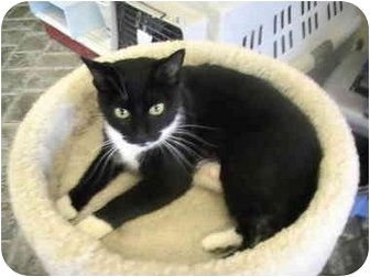 Domestic Shorthair Cat for adoption in Columbiaville, Michigan - Audrey