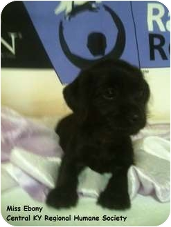 Dachshund/Wirehaired Fox Terrier Mix Puppy for adoption in Lancaster, Kentucky - Ebony