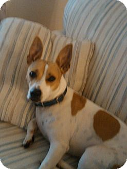 Jack Russell Terrier/Terrier (Unknown Type, Medium) Mix Dog for adoption in Ormond Beach, Florida - Sandy Sue