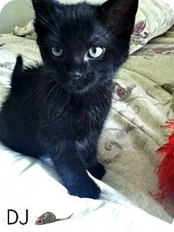 Domestic Shorthair Kitten for adoption in Geneseo, Illinois - DJ
