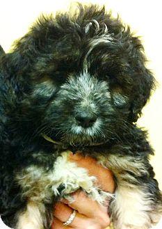 """Bernese Mountain Dog/Poodle (Standard) Mix Puppy for adoption in Oswego, Illinois - Jake & Elwood """"Elwood"""""""