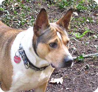 Basenji/Pit Bull Terrier Mix Dog for adoption in Salem, Oregon - Cicily