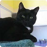 Domestic Shorthair Cat for adoption in Richboro, Pennsylvania - Oklahoma