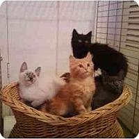 Adopt A Pet :: Su Su - Pasadena, CA