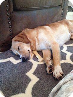 Golden Retriever Mix Dog for adoption in Aiken, South Carolina - Kipper