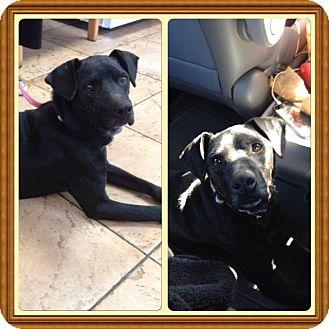 Labrador Retriever Mix Dog for adoption in Encino, California - CEDRIC