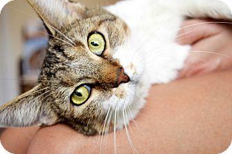 Domestic Shorthair Cat for adoption in Xenia, Ohio - Kiki