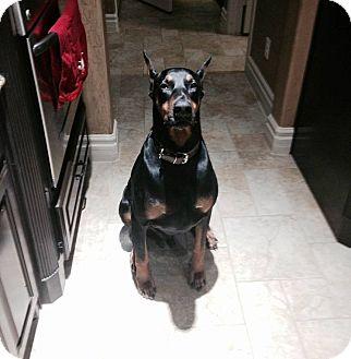 Doberman Pinscher Dog for adoption in Fort Worth, Texas - Tucker