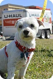 Maltese Mix Dog for adoption in Austin, Texas - Sebastian Bach