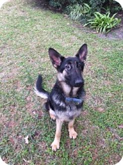 German Shepherd Dog Dog for adoption in Houston, Texas - Delilah