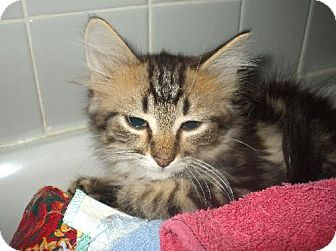 Maine Coon Kitten for adoption in Lenexa, Kansas - Espresso