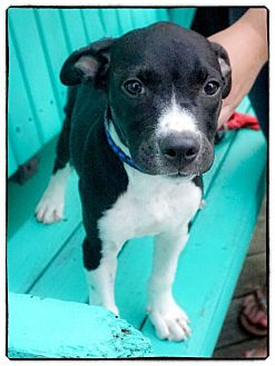Labrador Retriever/Pit Bull Terrier Mix Puppy for adoption in Freeport, New York - Chunky