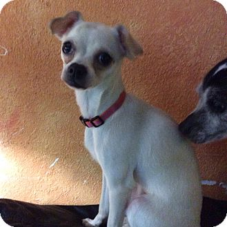Chihuahua Puppy for adoption in S. Pasedena, Florida - Molly