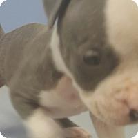 Adopt A Pet :: Belle - Scottsdale, AZ