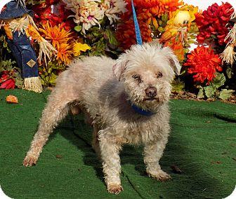 Miniature Poodle/Poodle (Miniature) Mix Dog for adoption in Marietta, Georgia - COCOA (R)