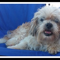 Shih Tzu/Lhasa Apso Mix Dog for adoption in Winchester, California - MR. MAGOO