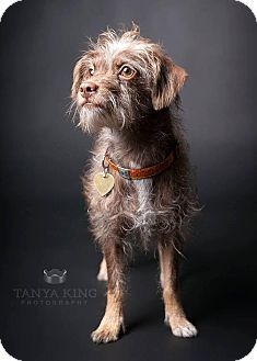 Terrier (Unknown Type, Small)/Yorkie, Yorkshire Terrier Mix Dog for adoption in Pitt Meadows, British Columbia - Tiger