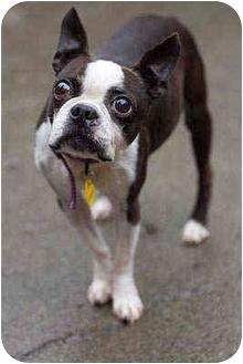 Boston Terrier Dog for adoption in Portland, Oregon - Gramps