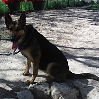German Shepherd Dog Dog for adoption in SAN ANTONIO, Texas - FARA