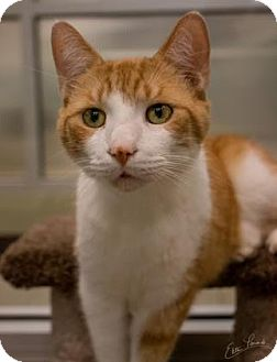 Domestic Shorthair Cat for adoption in Columbus, Georgia - Gus 0517