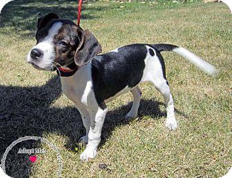 Labrador Retriever Mix Puppy for adoption in Sidney, Ohio - Dolly