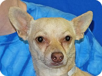 Chihuahua Mix Dog for adoption in Spokane, Washington - Thomas