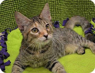Domestic Shorthair Kitten for adoption in Plano, Texas - DESTINY - I'M YOUR DESTINY